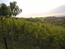 Le vignoble du Stierkopf