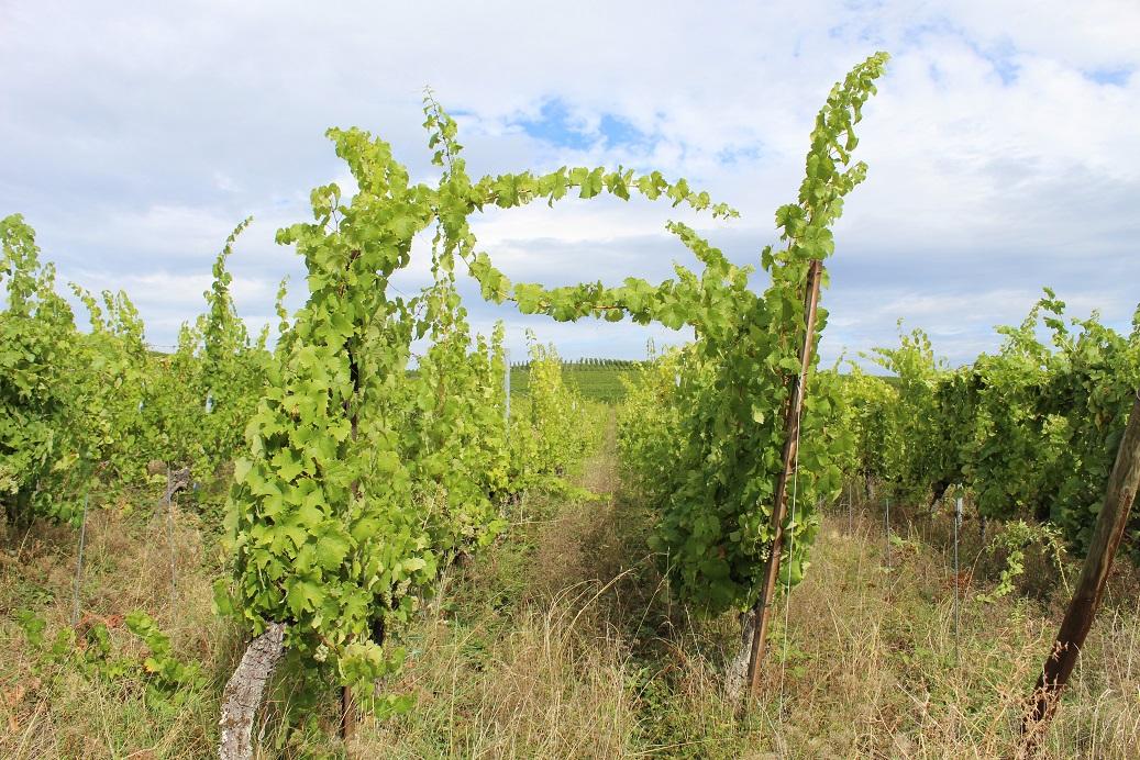 Vignes sauvages de la Maison Lissner à Wolxheim - Alsace